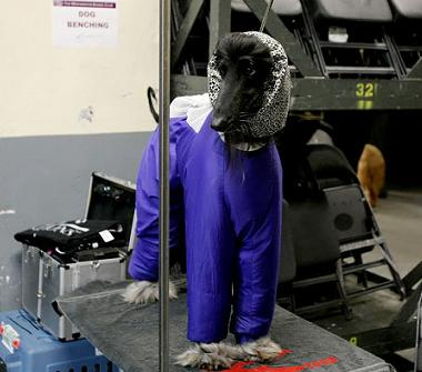 An afghan in a tracksuit at the Westminster Kennel Club Dog Show